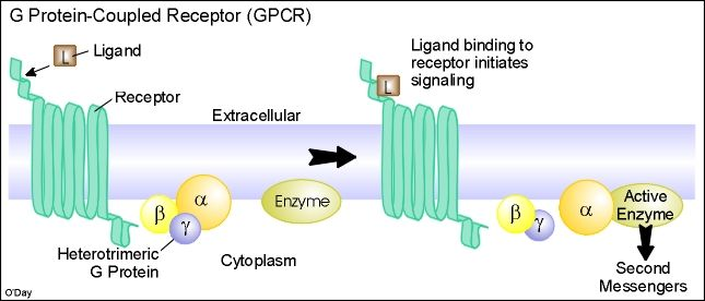 FIRST IMAGE OF GPROTEIN