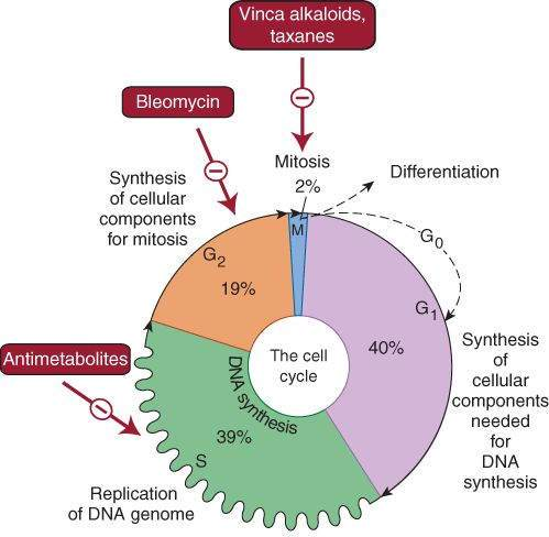 cell cycle dependant